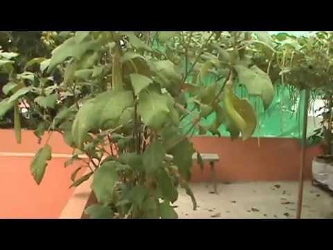 ernakulam 2014 terrace farming......india,kerala,cochin,thykoodam