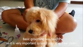 Puppy Training Singapore - 3.5 months Poodle