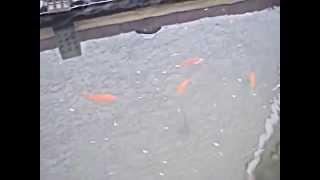 ****homemade Goldfish/koi Pond****