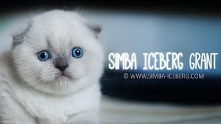 Шотландский вислоухий котенок - Simba Iceberg Grant