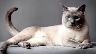 Порода кошек. Тайская кошка.Умная и сообразительная кошка. Имеет Красивый окрас