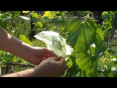 Часть 1 Получение бессемянных ягод