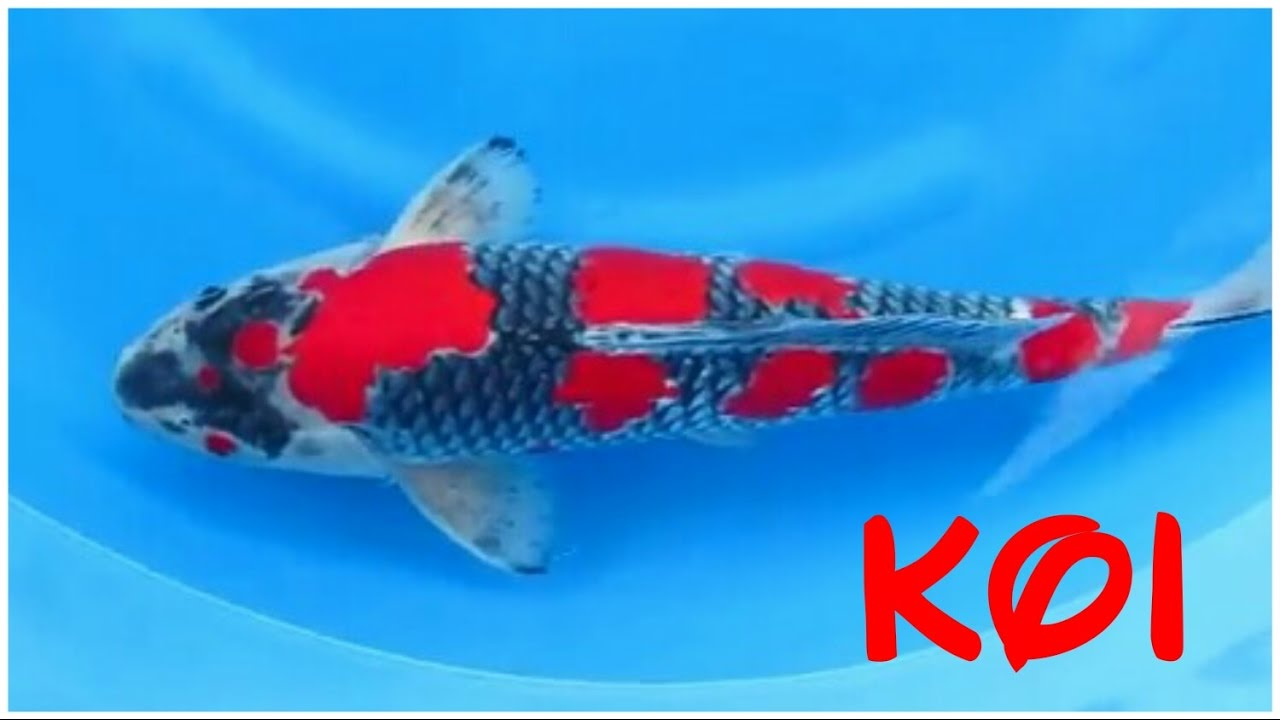 24 types and characteristics of the koi fish part 2 for All black koi fish