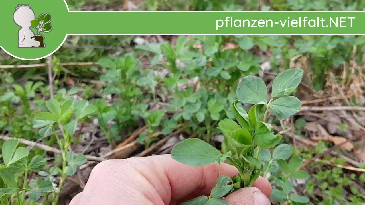 Ganz und zu Extrem Luzerne - Erste Boten - 10.04.18 (Medicago sativa) - Wildpflanzen @OS_59