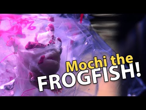 IT'S FINALLY HERE!! Frogfish Mochi!!