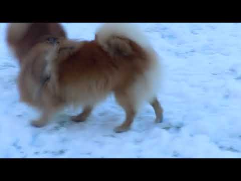 German Spitz Mittel with Kleins and Pomeranians