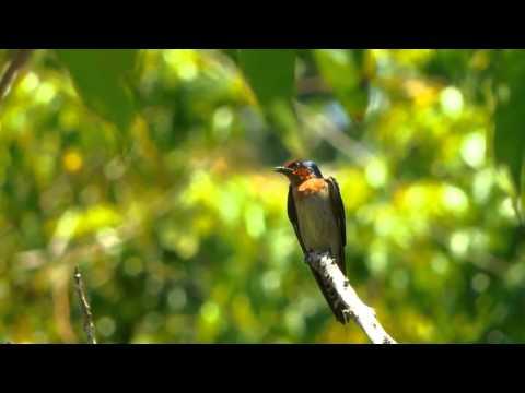 Pacific Swallow / Layang-layang api / Hirundo tahitica