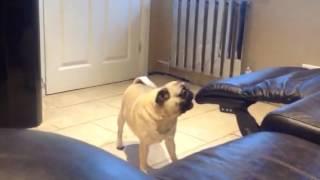 Pug having a tantrum