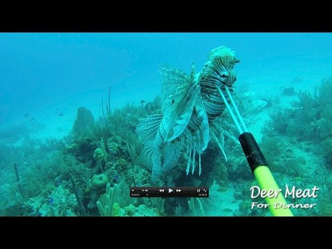 Lion Fish: Catch Clean Cook!!! AWESOME