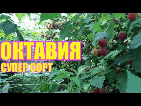 Малина Октавия - один из лучших поздних сортов летней малины | саженцы | ежевики | ежевика | малины | малина | купить