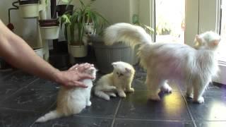 1 month baby Persian Chinchilla cats playing