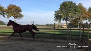 For sale ; 3 yo stallion Cedrick X kojak good xrays
