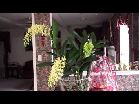 Phong Lan Úc Châu nở hoa ngày TẾT Nguyên Đán 2015