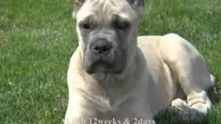 Кане -корсо - собака для триумфаторов (Сane - Corso)