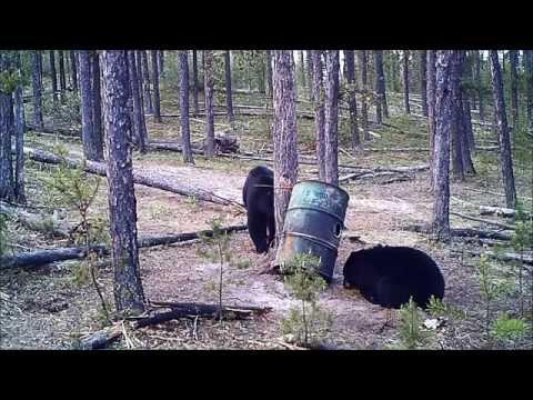 Bears at the bait site. Film 3. Siberian Outfitters. Saskatchewan. Canada.