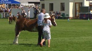 Merlod Cymreig Teip Cob Ebol 2 fl. | Welsh Ponies Cob Type Foal 2 yr