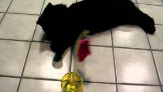 Polydactyl Kitten Attacks Booda® Balancing Ball by Petmate - ラグドール - Floppycats