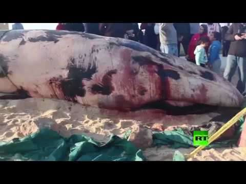 Find a dead whale on the coast of Alexandria, Egypt !!!!!!!!