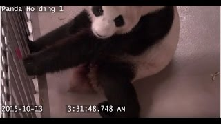 Toronto Zoo Giant Panda Gives Birth.