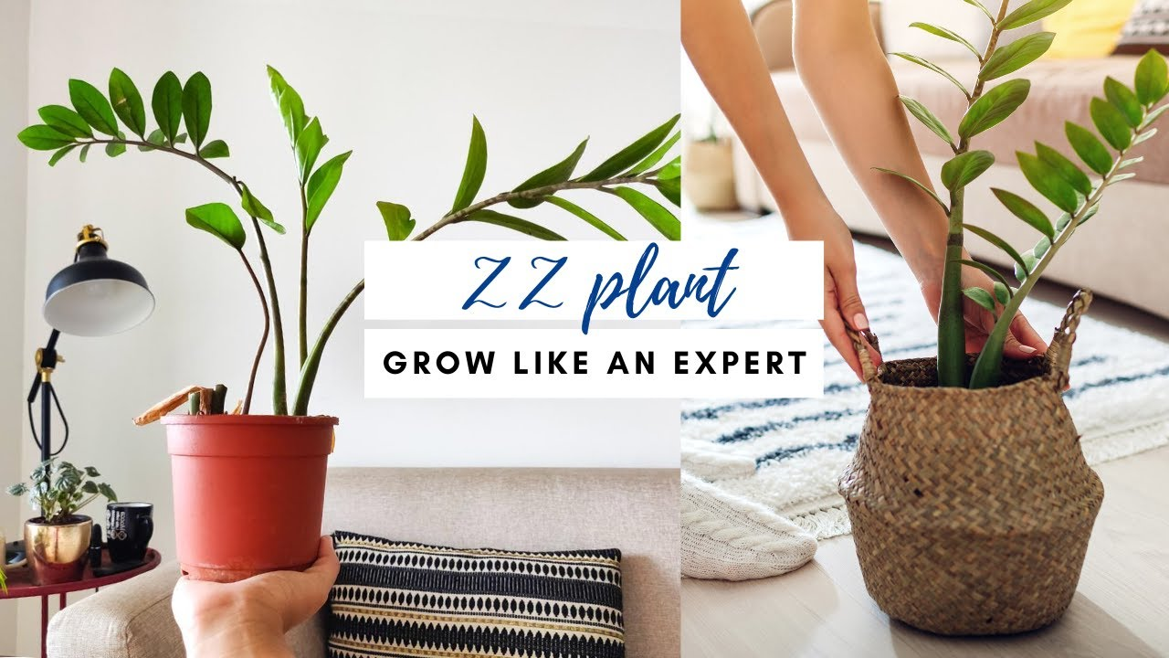 ZZ plant- Dark or low light rooms के लिए बेस्ट | Complete Care Guide