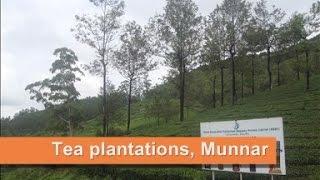 Top major attraction in Munnar : Tea plantations