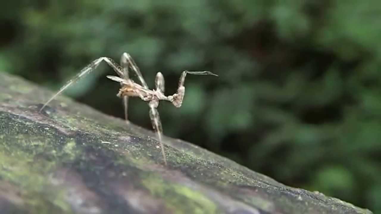"""ジラフアサシンバグ クモを暗殺してしまう虫 """"ジラフ・アサシンバグ""""の手口とは!? : Dangerous Insects"""