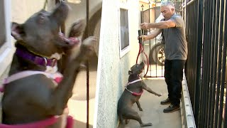 Cesar Must Correct Aggressive Pitbull's Behavior | Cesar 911