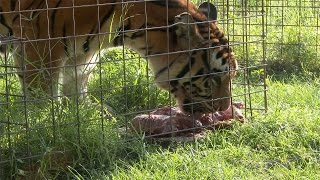 Feeding Time With The Texas Tigers