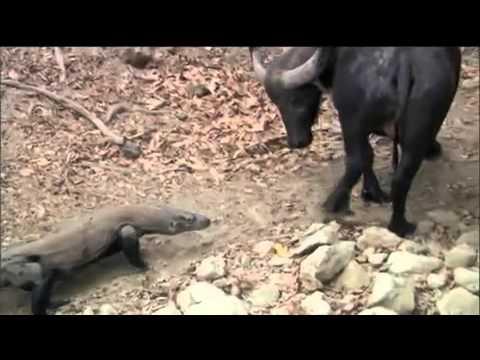 Dragón de Komodo ataca Búfalo. - YouTube