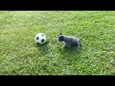 Blue Heeler Puppy (Australian Cattle  Dog) Herding a Soccer Ball