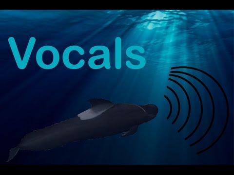 Pilot whale VOCALS!