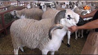 Le360.ma • L'Aid Al Adha: Le prix du mouton s'élève jusqu'à 7500DH.