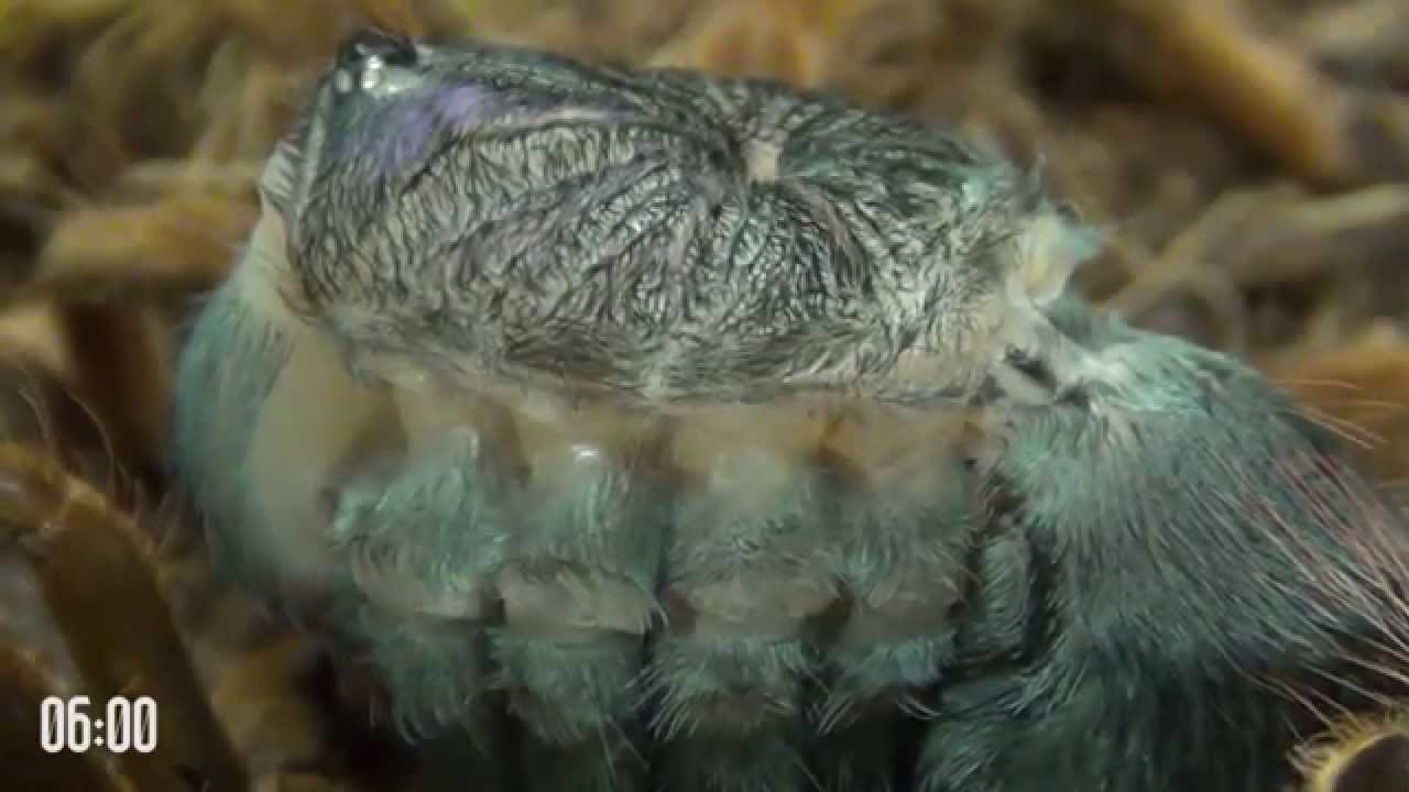 Download Tarantula molting is like alien from science fiction movie! A must watch!