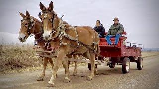 Driving Mules With Farmer Bob