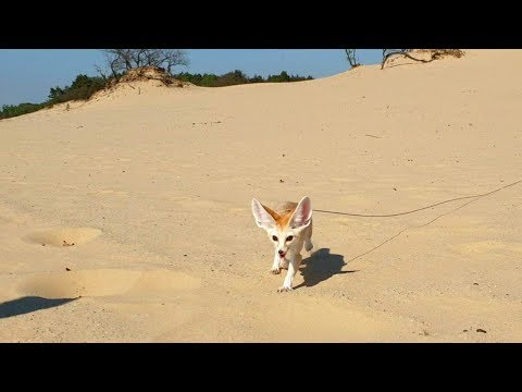 Long Leash Desert Walk with our Fennec Fox