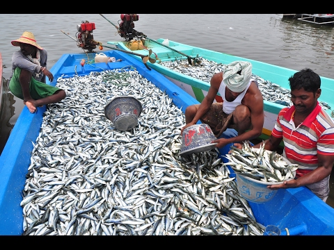 Fishermen Sort Their Big Catch of Fish in Boat - kadal tv