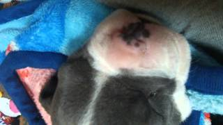 Puppy snoring in Her sleep 3 weeks old..