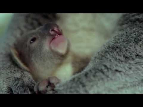 The Moment This Baby Koala Sees Her Mum for The Very First Time