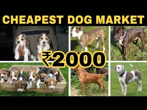 Cheapest Dog Market In In Delhi   [Wholesale/Retail]   Wholesale Price   Pitbull,American Bully,etc