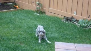 كلب ''BJ'' يشعر أنه يمكن أن تخلق زوبعة.!