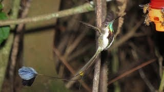 Birding Northern Peru The marvelous Spatuletail