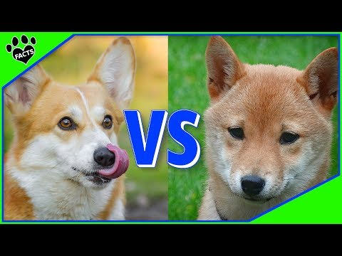 Shiba Inu Vs Corgi - Which is Better? Dog vs Dog