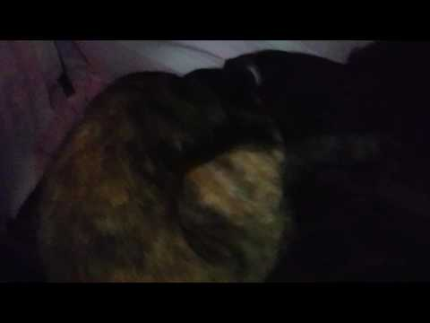 Kittens live - baby kittens meowing