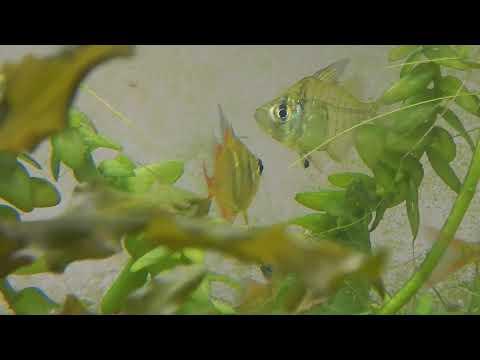 Indian Glassfish - Parambassis Lala