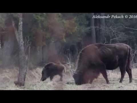 Bison&wild boar. Bialowieza forest. Belarus