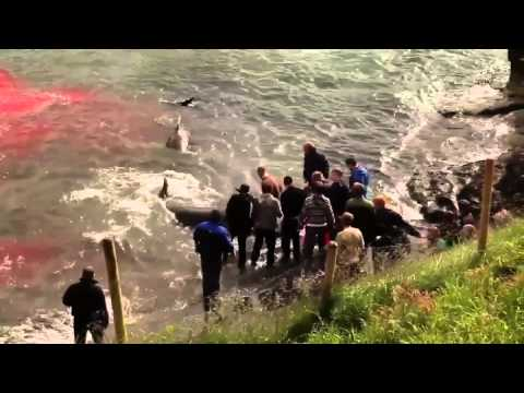 unbelievable Mass Slaughter of Whales In The Faroe Islands
