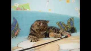 экзотическая короткошерстная кошка купить москва