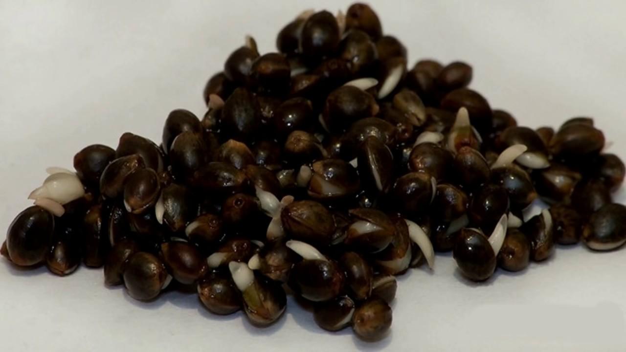 Как приготовить семена конопли на рыбалку в чем смысл марихуаны