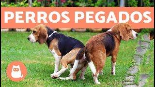 Perros pegados después de aparearse, ¿cuál es la razón?