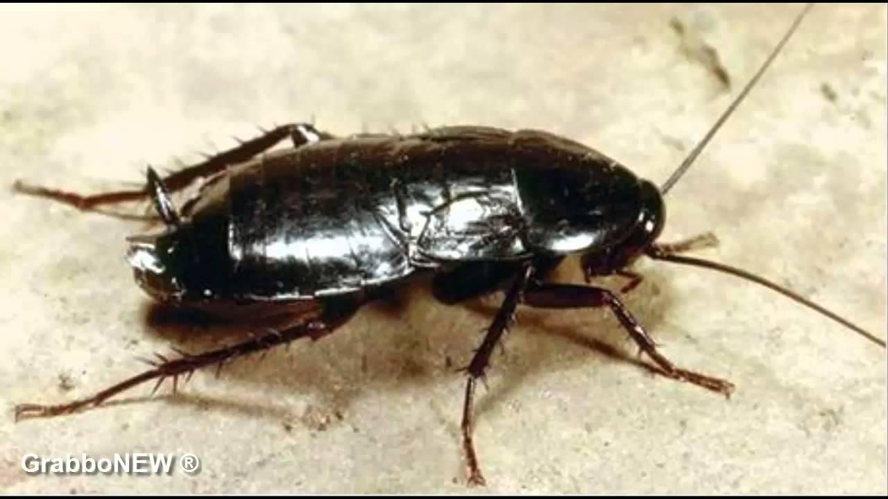 scarafaggi da